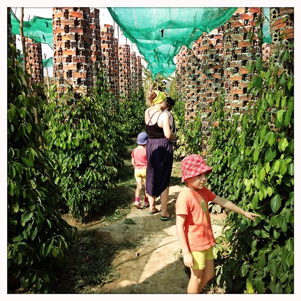 De peperplant groeit op gemetste paaltjes. Van een volwassen exemplaar kun je makkelijk een 10-tal jaar oogsten.