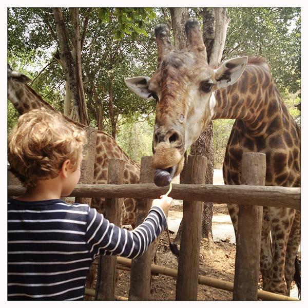 Chiang Mai - Zoo - Giraffen voederen