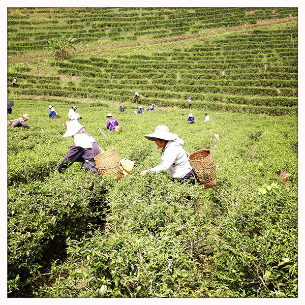Thailand - Tha Ton - Oolong thee oogst